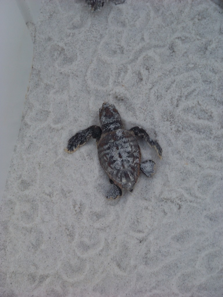 Sea Turtle Nesting Season Has Officially Ended… and what a season it was