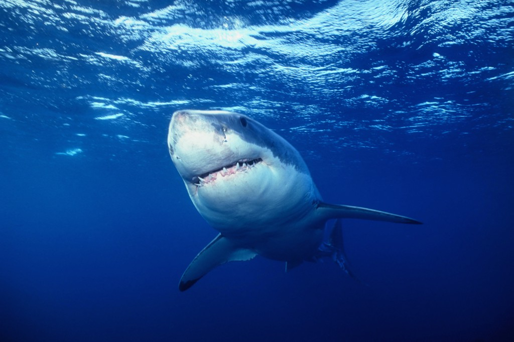 White Shark (Carcharhinus carcharias). Credit: Florida Sea Grant Stock Photo