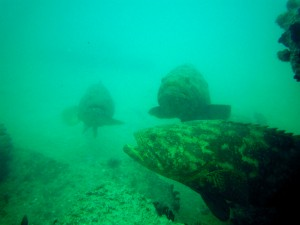 Three goliath groupers over wreck in southwest Florida.  Photo: Bryan Fluech Florida Sea Grant