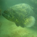 Sea Grant Monitors Occurrence of Goliath Groupers in the Panhandle