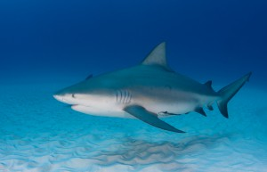Pregnant Bull Shark (Carcharhinus leucas) cruses sandy seafloor. Credit Florida Sea Grant Stock Photo