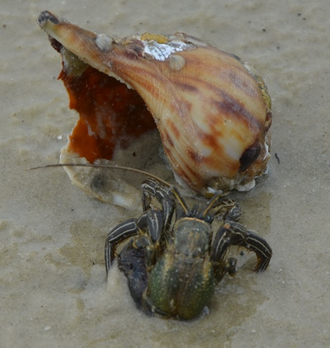 A room with a view: a stripped hermit crab sizes up a potential residence