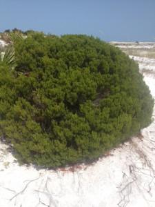 Seaside Rosemary