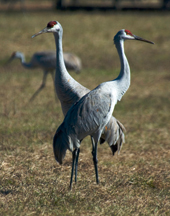 Sandhill Cranes in a North Florida pasture. UF/IFAS Photo: Josh Wickham.