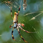 The Giant Banana Spiders – part of our panhandle summer