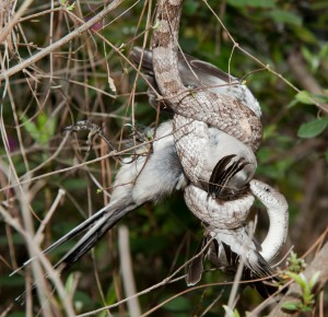 A constricting gray rat snake coils around a bird.   Photo: Nick Baldwin