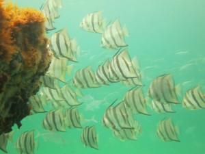 Spadefish on a panhandle snorkel reef. Photo: Navarre Beach Snorkel