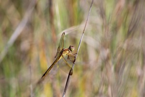 One of the many species of dragonflies that visit our islands. Photo: Molly O'Connor