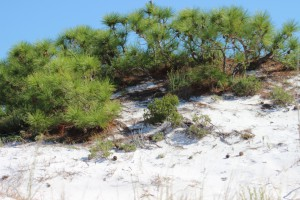 The top of a pine tree within a tertiary dune. Photo: Molly O'Connor