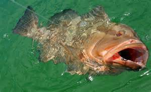 One of the more popular finfish - the grouper. Photo: Bay County Extension, UF IFAS