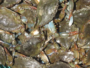 The crab of choice in the northern Gulf of Mexico; blue crab. Photo: FWC