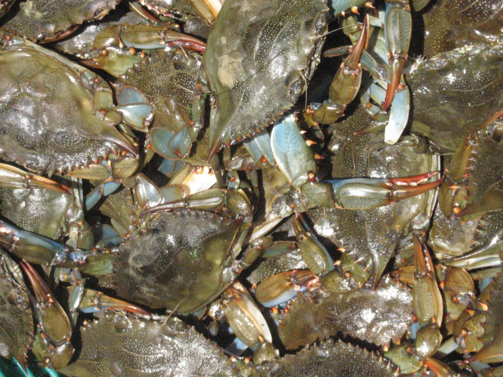 Nature Notes – The Blue Crab