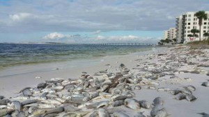 Dead fish line the beaches of Panama City. Photo: Randy Robinson