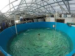 Indoor aquaculture projects are found throughout Florida.   Photo: Florida Sea Grant
