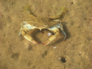 The thin telson beneath this crab indicates it is a male.  Photo: FWC
