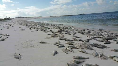 Who is the Creature That Causes Red Tide: Information on Karenia brevis