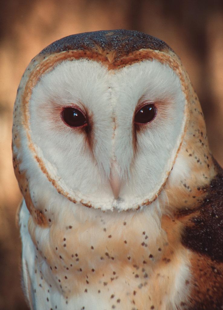 Owls – Florida's Remarkable Nocturnal Birds of Prey