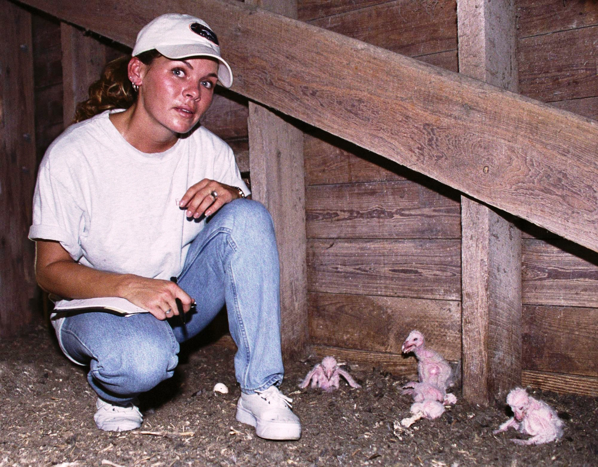 BELLE GLADE---University of Florida graduate researcher Cosandra Hochreiter checks on a barn owl nesting site on the grounds of UF's Everglades Research and Education Center. The five owlets in this corner were among several babies and their parents nesting in this abandoned barn at the research center. Researchers are trying to boost the population of barn owls in the Everglades Agricultural Area because they are a natural form of rodent control. Rodents can cause up to $  30 million damage per year to sugar cane and vegetable crops, and a nesting pair of barn owls can eat almost 3,000 rodents over the course of a year. Compliments UF/IFAS File Photo