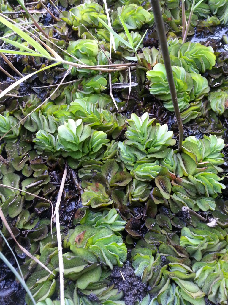 Active growing Giant Salvinia was observed growing out of the pond water on to moist soils and emerging cypress and tupelo tree trunks. Photo by L. Scott Jackson