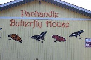 The Panhandle Butterfly House is located just to the west of the traffic light on Highway 98 as you leave Navarre Beach.