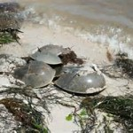 Horseshoe Crabs; the Ancient Mariner