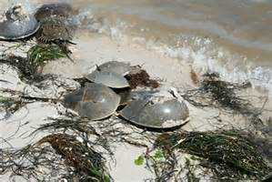 Horseshoe crabs breeding on the beach.   Photo: Florida Sea Grant