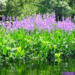 Discover the Beauty and Role of Native Aquatic Plants – in Your Own Pond