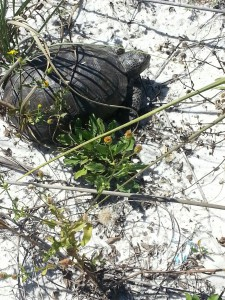 This gopher tortoise was found in the dune fields on a barrier island - an area where they were once found. Photo: DJ Zemenick