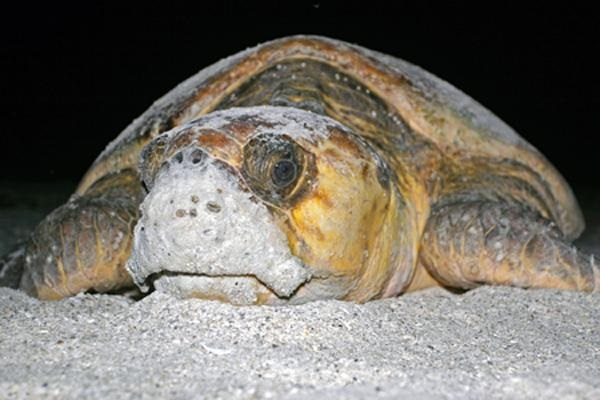It's Sea Turtle Hatching Time… what you can do to help them