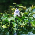 waterhyacinth4