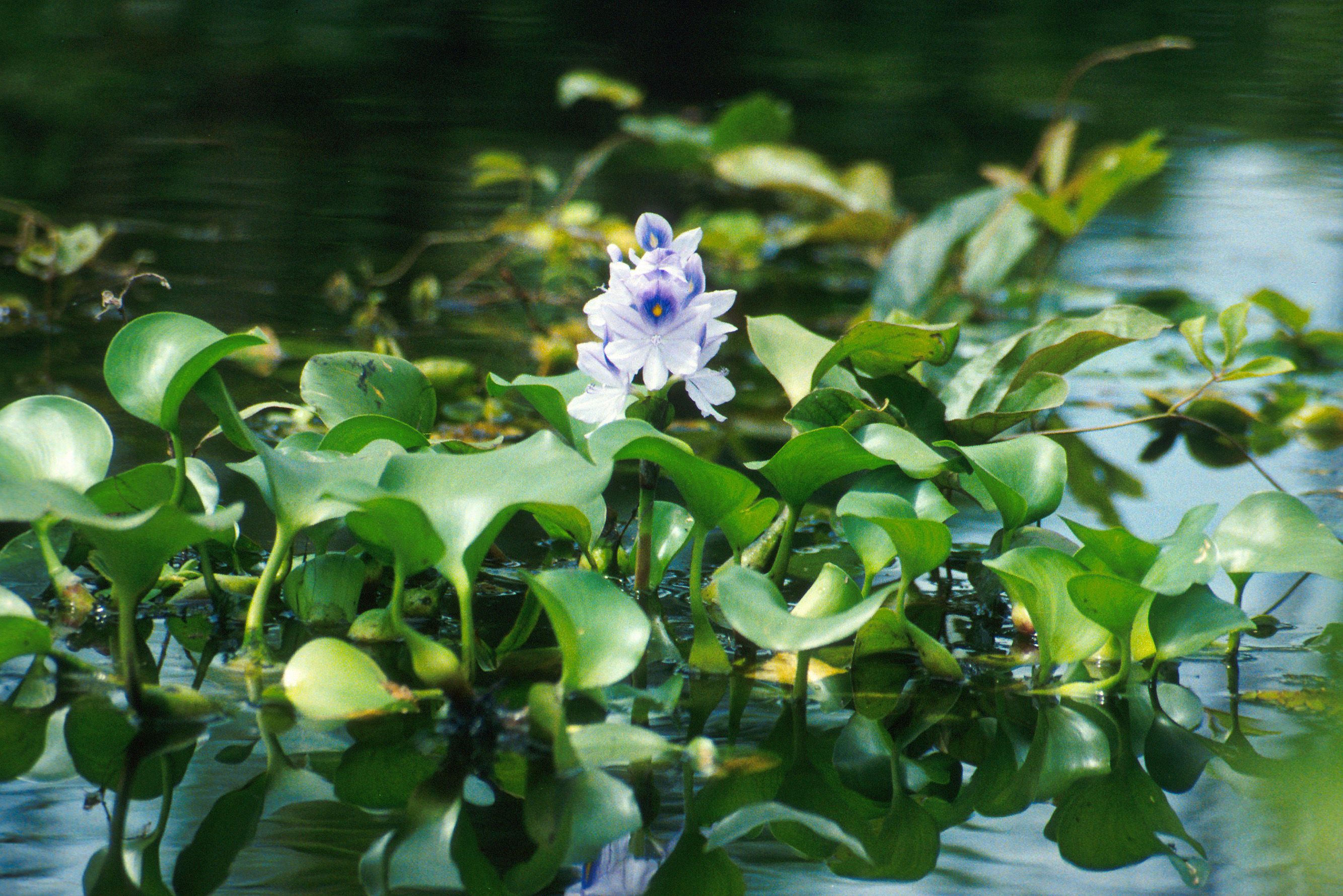 Six Rivers CISMA EDRR Invasive Species of the Month – Water Hyacinth