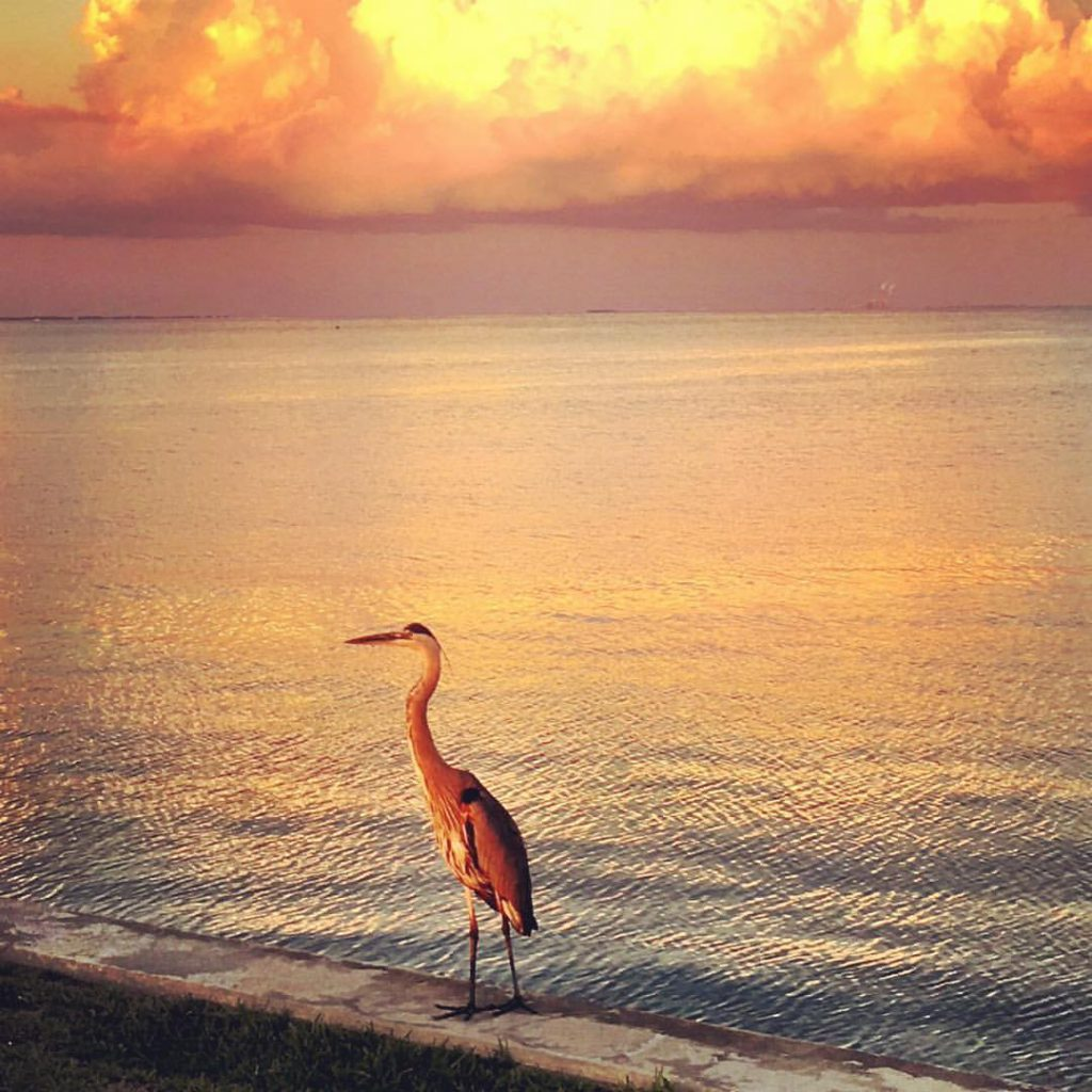 A great blue heron at sunset stalks the shoreline ready for his next meal. Scenes like this await coastal visitors. It's an experience like no where else. Photo by the author.