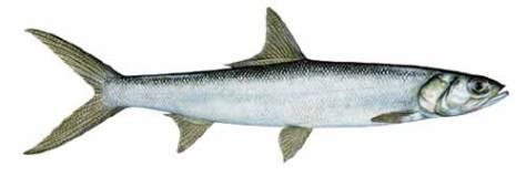 Ladyfish - Elops saurus http://www.captivafishing.net/?p=772