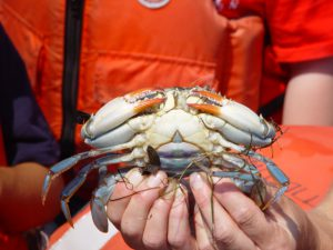 Blue Crabs and Fiddler Crabs Both Grow Up in the Marshy World