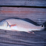 The Autumn Journey of Red Drum