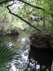 "The Aucilla is a tannic river. Thus not as yellow-brown but rather more ""blackwater"". Photo: Jed Dillard"