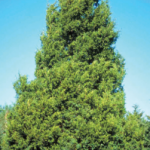 Consider a Native Evergreen This Christmas