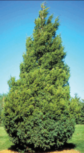 Pyramid shaped conifer tree