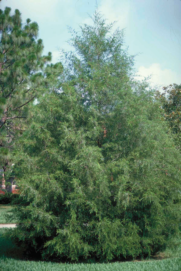 Consider a native evergreen this christmas uf ifas