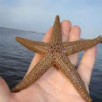 "The Christmas ""Sea Star"""