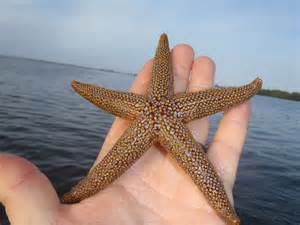 The Florida Orange Sea Star.  Photo: Florida Sea Grant