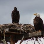 Yep… Those are Bald Eagles You are Seeing