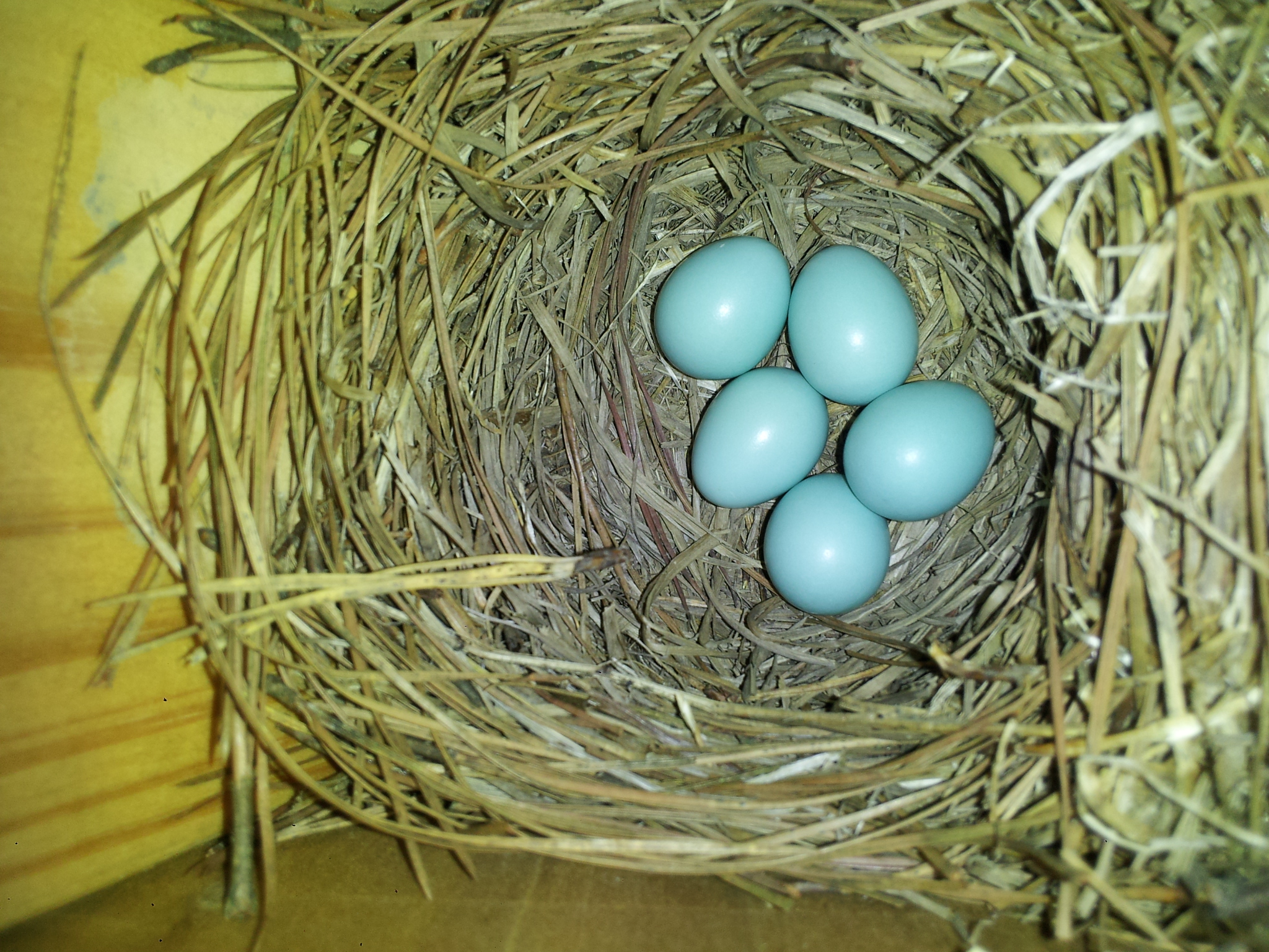 Local Bluebirds Have Started Nesting