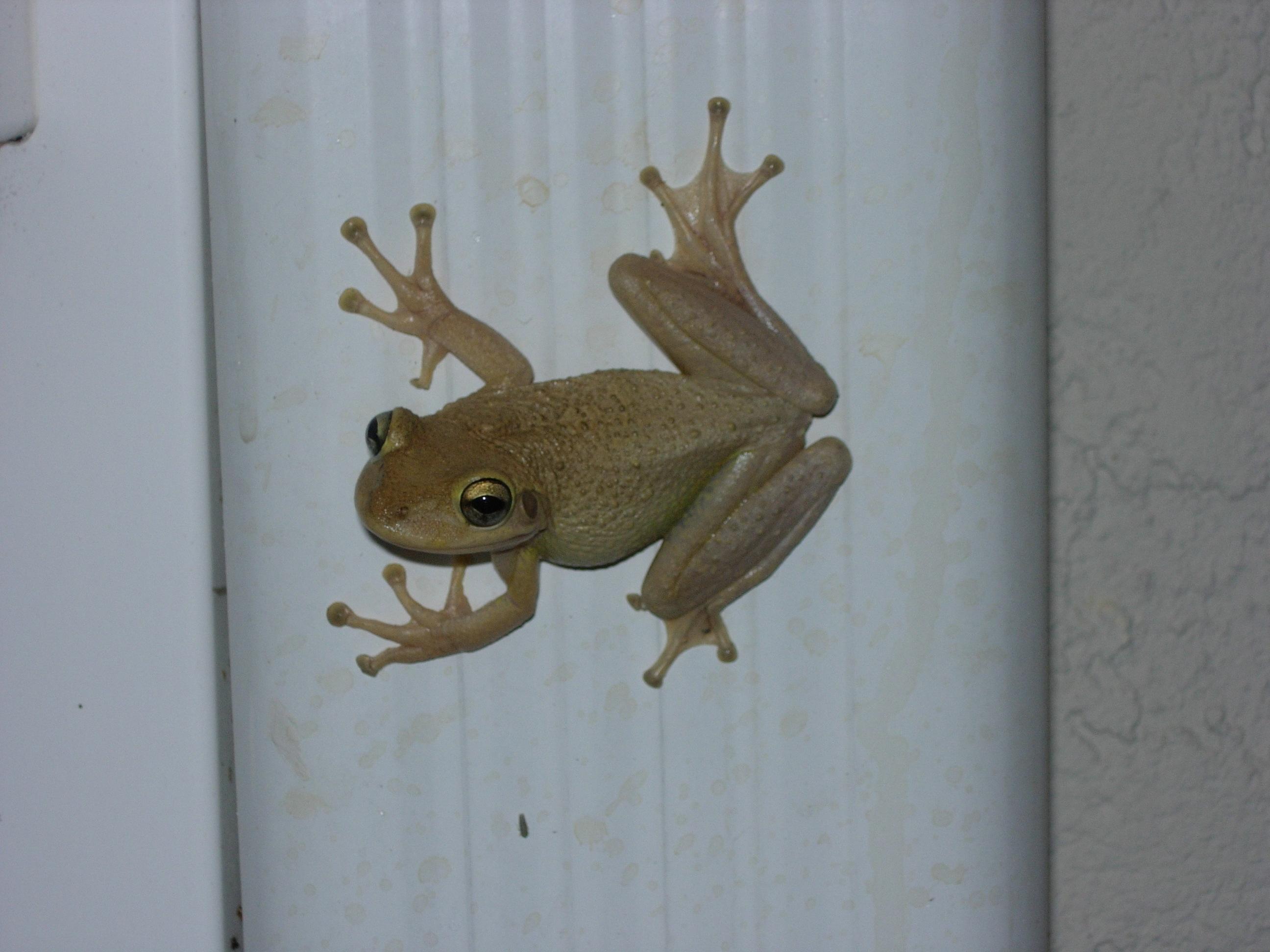 EDRR Invasive Species of the Month – Cuban Treefrog