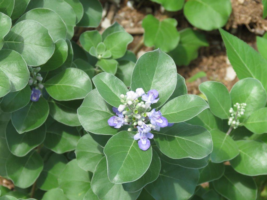 Six Rivers EDRR Invasive Species of the Month – Beach Vitex