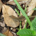 A New Kid on the Block: the Cuban (Brown) Anole