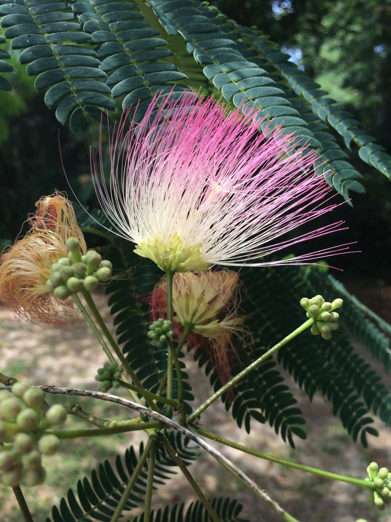 NISAW 2018:  A lovely but troublesome tree, Mimosa (Albizia julibrissin)