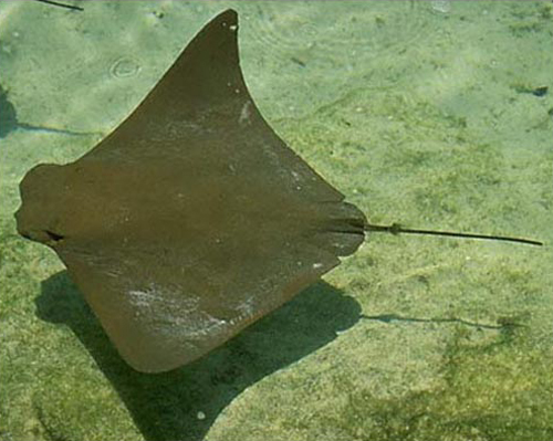 An Intimidating Fish They Call the Stingray