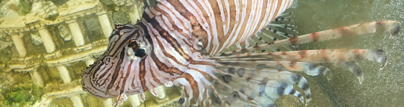 Divers Spearheading the Fight Against Invasive Lionfish