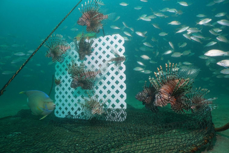 Six Rivers CISMA Dirty Dozen Invasive Species of the Month – Lionfish